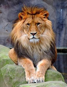 15 ideas tattoo lion lioness jungles for 2019 Big Animals, Majestic Animals, Animals And Pets, Beautiful Lion, Animals Beautiful, Lion Pictures, Animal Pictures, Gato Grande, Lion And Lioness