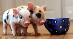 What's cuter than a teacup pig? A teacup pig in an teacup. Pet Pigs, Baby Pigs, Micro Mini Pig, Teacup Piglets, Miniature Pigs, Little Pigs, Cute Baby Animals, Pets, Stuffed Animals