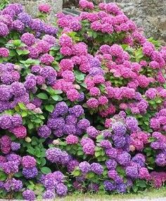 Add coffee grounds to Hydrangeas for more color