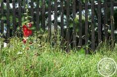 #Cosmos in the #Garden - #Behind #Wooden #Fences - #gardening #flowers #nature