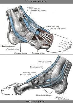 Ligaments Of The Foot | holes into the the small interosseous ligaments limbs of