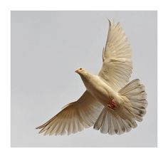 Flight Of White Pigeon - A photo by Abdul at PhotoClassical.com