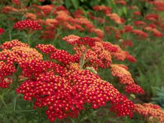 Paprika opens with spicy-hot color, as shown here, then fades to shades of terra-cotta. The color lasts for many weeks, and if you take the time to deadhead the old flowers, it will continue to bloom from June to October. Yarrow is inexpensive, which makes it a great choice for massing in the border