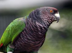 Imperial Amazon also known as the Imperial Parrot, Dominican Amazon, August Amazon, or Sisserou.