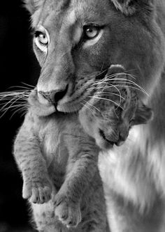 lioness and cub Animals And Pets, Baby Animals, Cute Animals, Wild Animals, Royal Animals, Beautiful Cats, Animals Beautiful, Big Cats, Cats And Kittens