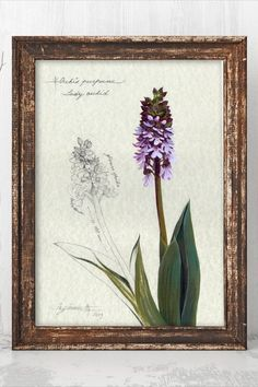 ♦ TYPE: GICLEE ART PRINT  ♦ TITLE: Orchis Purpurea  ♦ INKS: archival  ♦ PAPER: 280gsm 100% cotton rag  ♦ COLORS may appear slightly different on screen than on the original, depending on your monitor settings #natureartprints #botanicalprints #natureart
