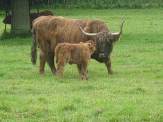 Fotografía: Kirsten Alvarado-HighLands Glasgow, Lago Ness, Cow, Animals, Edinburgh, Scotland, Castles, Animales, Animaux