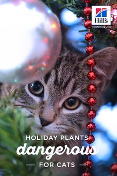 Learn which common holiday plants could be poisonous for your cat. Avoiding these plants will keep her happy and healthy this holiday season! Cat Safe Plants, Cat Plants, Live Plants, Funny Animals, Cute Animals, Cat With Blue Eyes, Sleepy Cat, Christmas Cats, Beautiful Creatures