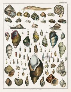Shells - Lorenz Oken (1779-1851)
