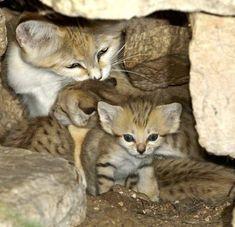 Love the sand cat kittens!! #BigCatFamily