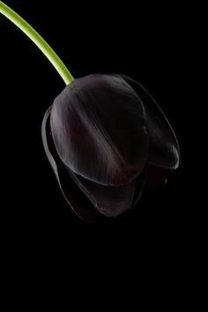 A rare black tulip for my Lord and Lady.