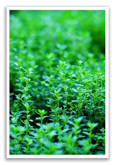 Tips for growing fresh Thyme via @Amy Johnson / She Wears Many Hats