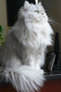 Long haired white cat Flickr - Photo Sharing!