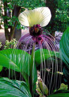 Tacca integriflora ( plante chauve-souris, fleur du diable )