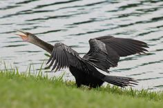 Angry Anhinga, Tradition FL