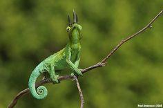 Jackson's Chameleon   Flickr - Photo Sharing!