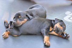 sleeping future big #Dobermans - Re-pinned from Forever Friends Fine Stationery & Favors http://foreverfriendsfinestationeryandfavors.com
