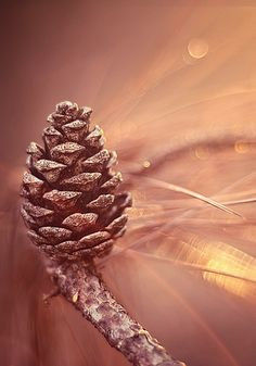 beautiful pine cone close up - photography