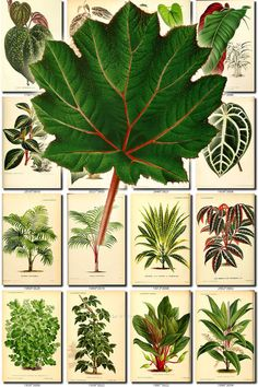 LEAVES GRASS-66 Collection of 125 vintage images vegetable