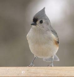ohio bird in winter (titmouse)