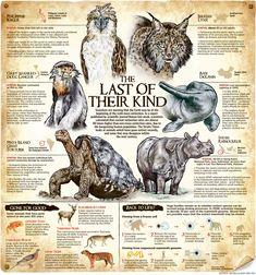 #animal infographics Extinct Animals, Rare Animals, Animals And Pets, Racing Extinction, Javan Rhinoceros, Javan Tiger, Tasmanian Tiger, Les Aliens, Art Watercolor