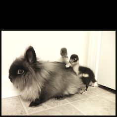 Lionhead Rabbit with ducklings