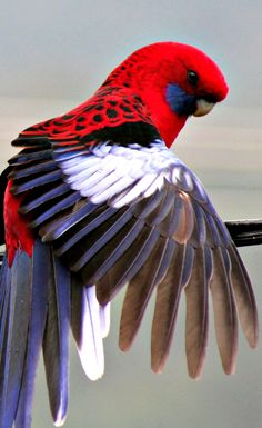 red white blue parrot ✿⊱╮ More