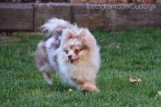 Chocolate merle Pomeranian puppy having a good time.