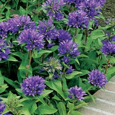Campanula Glomerata Superba  A compact, low growing plant with attractive clusters of purple blue trumpets on erect stems in late summer. Frost and drought tolerant once established. Prefers a shaded position. Ideal for pots and containers, rockeries or garden borders.
