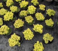 Барбарис AG garden - питомник декоративных растений : Каталог растений / 169616_Декоративные кустарники / 470454_Барбарис «Special Gold»