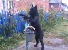 Vídeo mostra cão usando bomba de água manual na Rússia Animal usa equipamento para encher balde. Ensinado, cachorro ainda carrega o balde depois.
