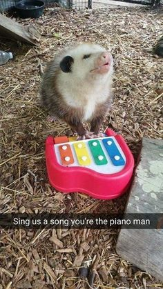 Funny Animal Picture Dump Of The Day 23 Pics Sing us a song you're the possum piano man opossum Cute Funny Animals, Funny Animal Pictures, Funny Cute, Hilarious, Funny Pics, Dc Memes, Funny Memes, Funny Humour, Funny Cartoons