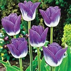 Sắc màu hoa Tulip....... - Page 13 - Chút lưu lại