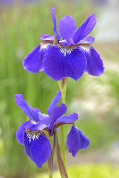 Purple flowers are a great way to add interest to your yard or landscape. See some of our favorite purple garden flowers! Types Of Purple Flowers, Iris Flowers, All Flowers, Amazing Flowers, Planting Flowers, Beautiful Flowers, Wallpaper Wedding, Belle Plante, Flower Garden Design