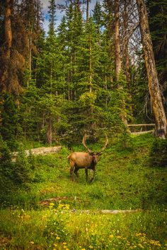 Elk in the Wild No 2 by Scott Smith Photography: A large buck enjoying a summer day in the Rocky Mountain National Park.