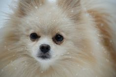 Pomeranians, Ferret, Puppies, Bear, Pictures, Animals, Photos, Cubs, Animales