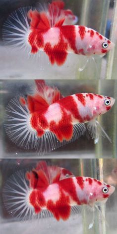 Live Betta Fish Male Fancy SUPER RED KOI Blue Eyes ...