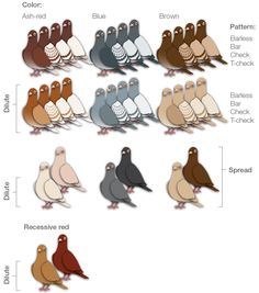 pigeon feather colors - colour names and different colors Pigeon Cage, Pet Pigeon, Pigeon Bird, Dove Pigeon, Tumbler Pigeons, Pigeon Loft Design, Racing Pigeon Lofts, Pigeon Pictures, Pigeon House