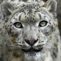 Snow Leopard Trust Леопардовые Тату, Красивые Кошки, Фильм Прекрасные Создания, Милые Животные, Дикие Животные, Кошка Лев, Снег, Животные, Gatos