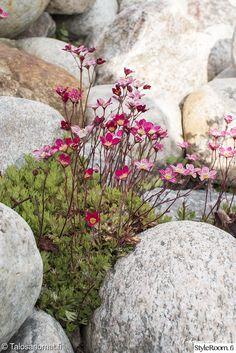 Piha ja Puutarha - Sisustuskuvia jäseneltä Jenni_Talosanomat - StyleRoom Rock Garden Plants, Lawn And Garden, Garden Pots, Beautiful Gardens, Beautiful Flowers, Rock Garden Design, Alpine Garden, My Secret Garden, Dream Garden