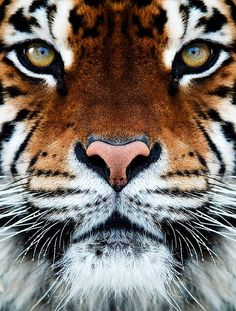 TIGER - aggression. potential threat. courage. grace and beauty. desire. passion. sensual appetite. vitality.