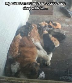 crazy cats, cat beds, st bernards, anim, dogs