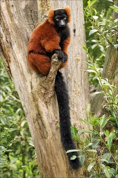 Red-ruffed lemurs are famous for their loud, deep calls; early explorers of #Madagascar thought they were hearing the groans of the dead!