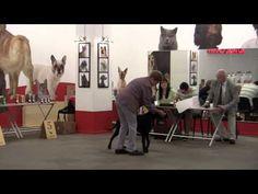 LLR breeders club Speciality dog show 15.09.2013. Curly Coated Retrievers - http://www.baubaunews.com/bau-blog/llr-breeders-club-speciality-dog-show-15-09-2013-curly-coated-retrievers/ http://img.youtube.com/vi/gvEHBZaO1uM/0.jpg