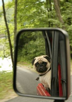 Travel Pug -- next time he should wear his doggles.....