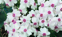 Bilde av VÅRFLOKS 'AMAZING GRACE' Outdoor, Plants, Flowers, Planters, Outdoor Living, Garden