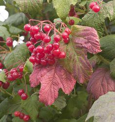 Winter berries - Dwarf cranberrybush (Viburnum opulus 'Compactum')
