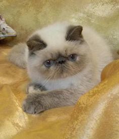 """Képtalálat a következőre: """"exotic shorthair cat snoopy"""""""