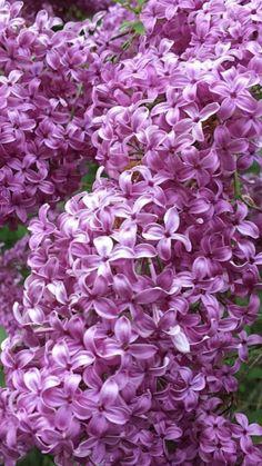 Lilac Wedding Flowers, Blue And Purple Flowers, Flowers Wholesale, Lilacs, Cacti And Succulents, Cactus, Garden, Plants, Garten