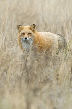 Red Fox by Matt Knoth